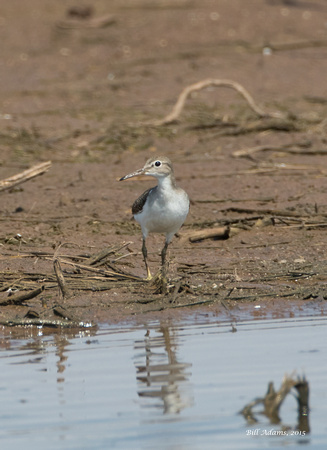 Spotted Sandpiper?