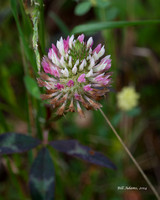 Red Clover, Red Slough
