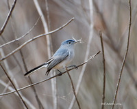 Blue-gray Gnatcatcher with nesting material