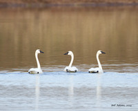 Tundra Swans on the way to Lake Murray at Hwy 7 & N3180
