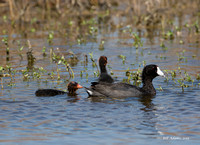 American Coot adult and chicks