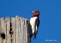 017 - Red-headed Woodpecker, Taylor Lake