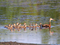 Black-bellied Whistling Duck with chicks
