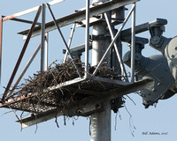 Red-tailed Hawk on nest, Duncan Demons Baseball field