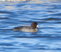002 - Lesser Scaup, Rush Springs Sewage Lagoons