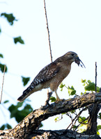 Red-shouldered Hawk with rodent