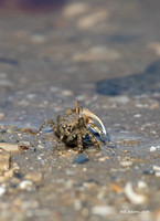 Fiddler crab, wish I could've got a different angle.