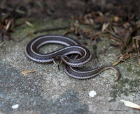 Lined Snake, My House