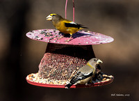 Male (top) and Female (bottom) Evening Grosbeaks